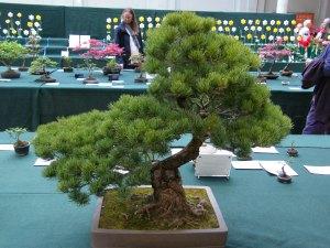 pinus-parviflora-45-yrs