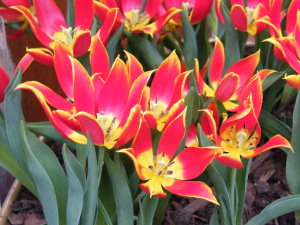 tulip-duc-van-tol-red-yellow