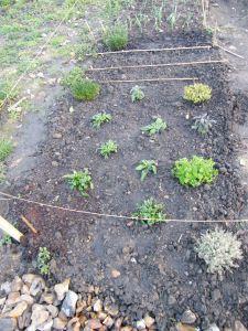 2014-02-15-herbs-shallots